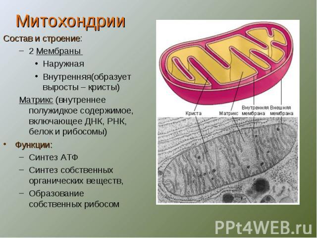 МитохондрииСостав и строение:2 Мембраны НаружнаяВнутренняя(образует выросты – кристы)Матрикс (внутреннее полужидкое содержимое, включающее ДНК, РНК, белок и рибосомы)Функции:Синтез АТФСинтез собственных органических веществ,Образование собственных рибосом
