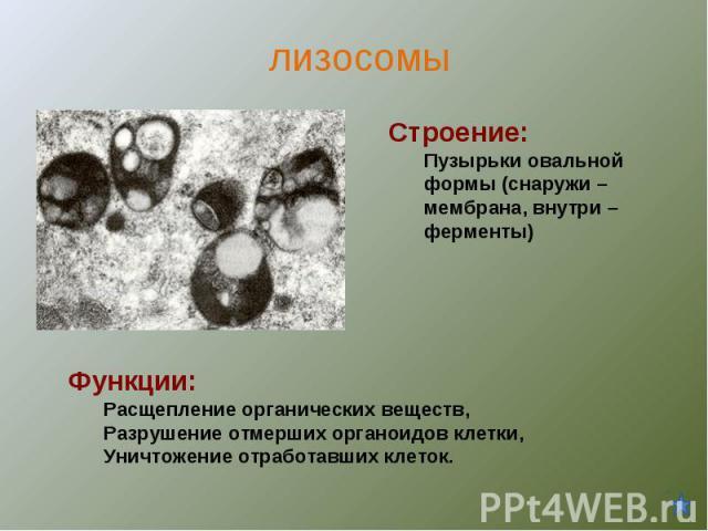 Строение:Пузырьки овальной формы (снаружи – мембрана, внутри – ферменты) Функции:Расщепление органических веществ,Разрушение отмерших органоидов клетки,Уничтожение отработавших клеток.