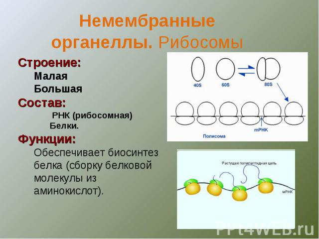 Немембранныеорганеллы. Рибосомы Строение:МалаяБольшаяСостав: РНК (рибосомная)Белки.Функции:Обеспечивает биосинтез белка (сборку белковой молекулы из аминокислот).