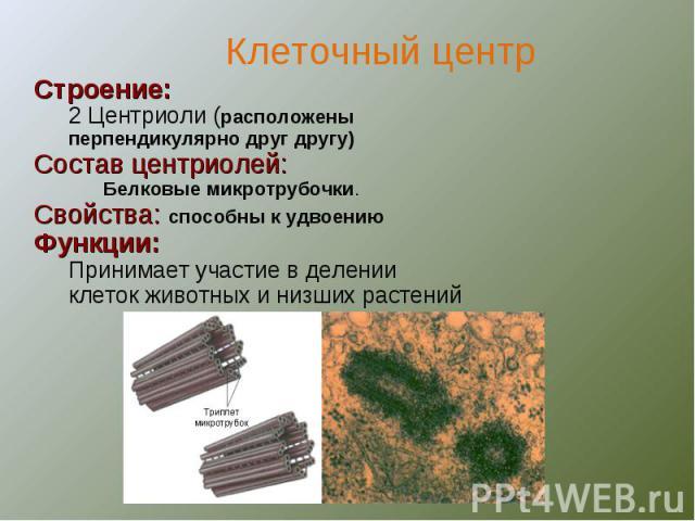 Строение:2 Центриоли (расположены перпендикулярно друг другу)Состав центриолей:Белковые микротрубочки.Свойства: способны к удвоениюФункции:Принимает участие в делении клеток животных и низших растений