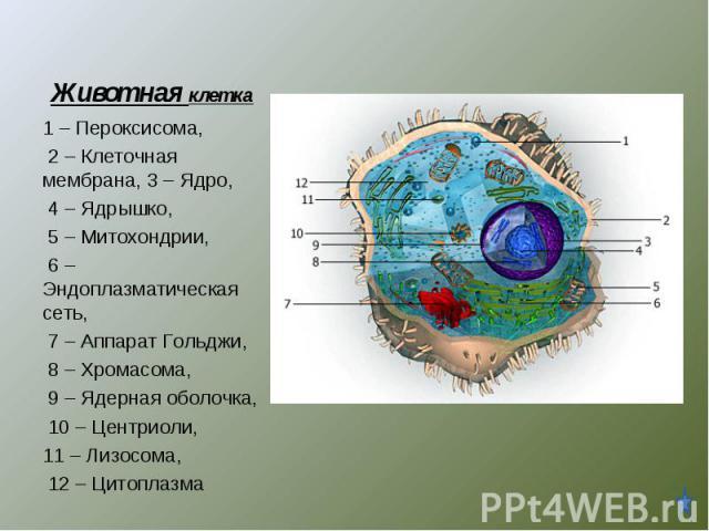 1 – Пероксисома, 2 – Клеточная мембрана, 3 – Ядро, 4 – Ядрышко, 5 – Митохондрии, 6 – Эндоплазматическая сеть, 7 – Аппарат Гольджи, 8 – Хромасома, 9 – Ядерная оболочка, 10 – Центриоли, 11 – Лизосома, 12 – Цитоплазма
