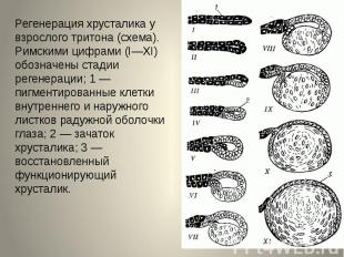 Регенерация хрусталика у взрослого тритона (схема). Римскими цифрами (I—XI) обоз