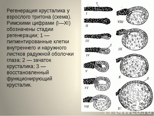 Регенерация хрусталика у взрослого тритона (схема). Римскими цифрами (I—XI) обозначены стадии регенерации; 1 — пигментированные клетки внутреннего и наружного листков радужной оболочки глаза; 2 — зачаток хрусталика; 3 — восстановленный функционирующ…