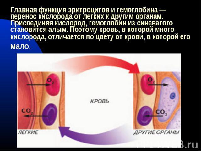 Главная функция эритроцитов и гемоглобина — перенос кислорода от легких к другим органам. Присоединяя кислород, гемоглобин из синеватого становится алым. Поэтому кровь, в которой много кислорода, отличается по цвету от крови, в которой его мало.