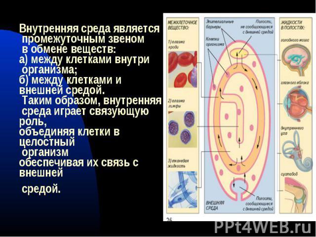 Внутренняя среда является промежуточным звеном в обмене веществ: а) между клетками внутри организма; б) между клетками ивнешней средой. Таким образом, внутренняя среда играет связующую роль, объединяя клетки в целостный организмобеспечивая их связь …