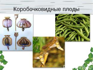 Коробочковидные плоды
