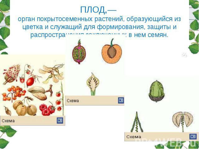 ПЛОД,— орган покрытосеменных растений, образующийся из цветка и служащий для формирования, защиты и распространения заключенных в нем семян.