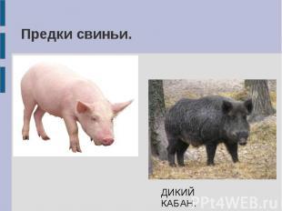 Предки свиньи. ДИКИЙ КАБАН.