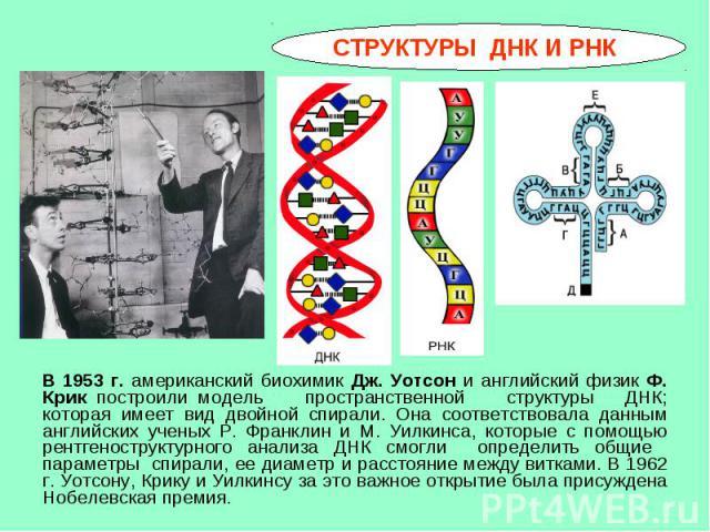 В 1953 г. американский биохимик Дж. Уотсон и английский физик Ф. Крик построили модель пространственной структуры ДНК; которая имеет вид двойной спирали. Она соответствовала данным английских ученых Р. Франклин и М. Уилкинса, которые с помощью рентг…