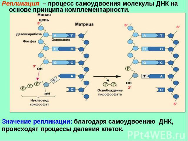 Репликация – процесс самоудвоения молекулы ДНК на основе принципа комплементарности. Значение репликации: благодаря самоудвоению ДНК, происходят процессы деления клеток.