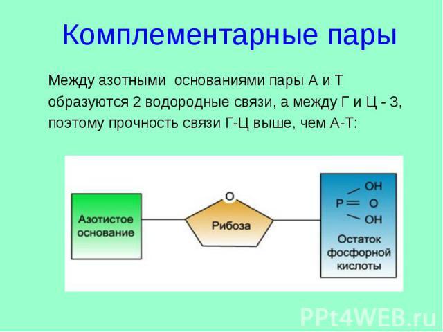 Комплементарные пары Между азотными основаниями пары А и Т образуются 2 водородные связи, а между Г и Ц - 3, поэтому прочность связи Г-Ц выше, чем А-Т: