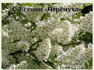 С. Есенин « Черёмуха »