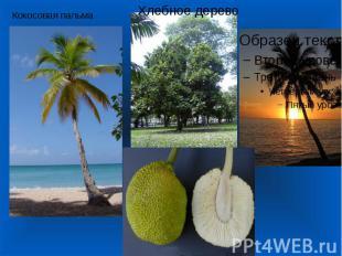 Кокосовая пальма Хлебное дерево
