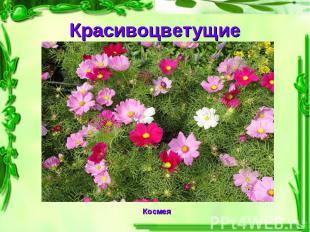 Красивоцветущие Космея