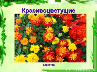 Красивоцветущие Бархатцы