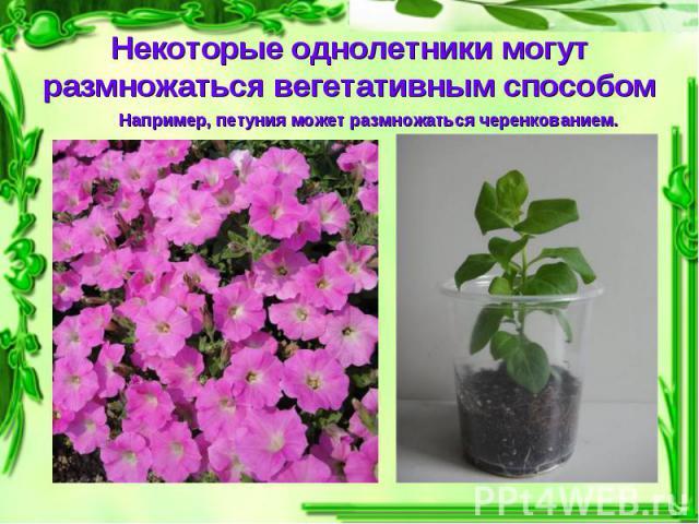 Некоторые однолетники могут размножаться вегетативным способом Например, петуния может размножаться черенкованием.