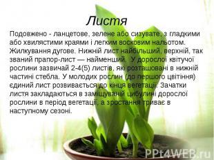ЛистяПодовжено - ланцетове, зелене або сизувате, з гладкими або хвилястими краям