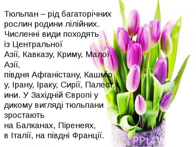 Тюльпан – рід багаторічних рослин родинилілійних. Численні види походять ізЦентральної Азії,Кавказу,Криму,Малої Азії, півдняАфганістану,Кашміру,Ірану,Іраку,Сирії,Палестини. У Західній Європі у дикому вигляді тюльпани зростають наБалканах…