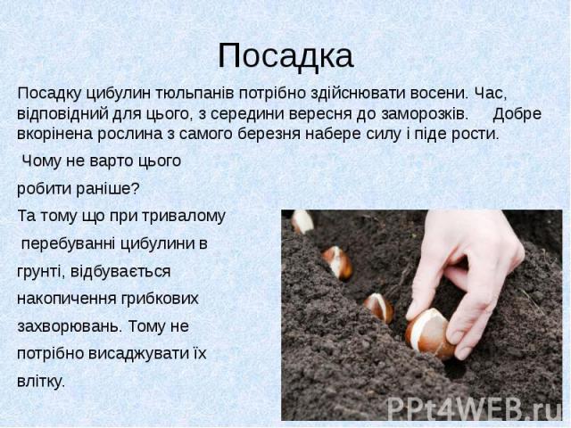 ПосадкаПосадку цибулин тюльпанів потрібно здійснювати восени. Час, відповідний для цього, з середини вересня до заморозків. Добре вкорінена рослина з самого березня набере силу і піде рости. Чому не варто цього робити раніше? Та тому що при тривалом…