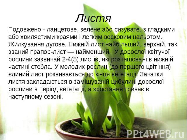 ЛистяПодовжено - ланцетове, зелене або сизувате, з гладкими або хвилястими краями і легким восковим нальотом. Жилкування дугове. Нижній лист найбільший, верхній, так званий прапор-лист— найменший. У дорослої квітучої рослини зазвичай 2-4…