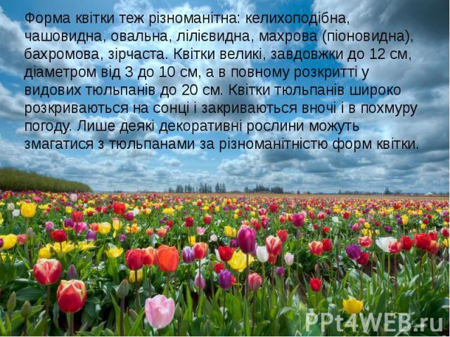 Форма квітки теж різноманітна: келихоподібна, чашовидна, овальна, лілієвидна, махрова (піоновидна), бахромова, зірчаста. Квітки великі, завдовжки до 12 см, діаметром від 3 до 10 см, а в повному розкритті у видових тюльпанів до 20 см. Квітки тюльпані…