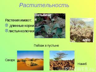 РастительностьРастения имеют: длинные корнилистья-колючки