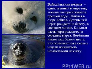 Байкальская нерпа – единственный в мире вид тюленя, который живёт в пресной воде