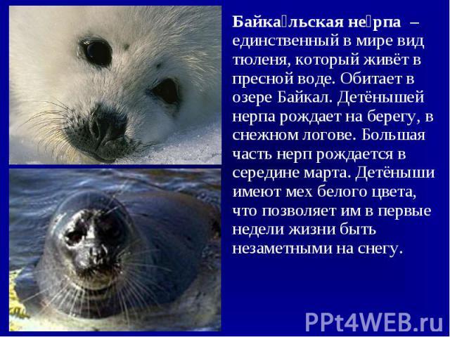 Байкальская нерпа – единственный в мире вид тюленя, который живёт в пресной воде. Обитает в озере Байкал. Детёнышей нерпа рождает на берегу, в снежном логове. Большая часть нерп рождается в середине марта. Детёныши имеют мех белого цвета, что позвол…