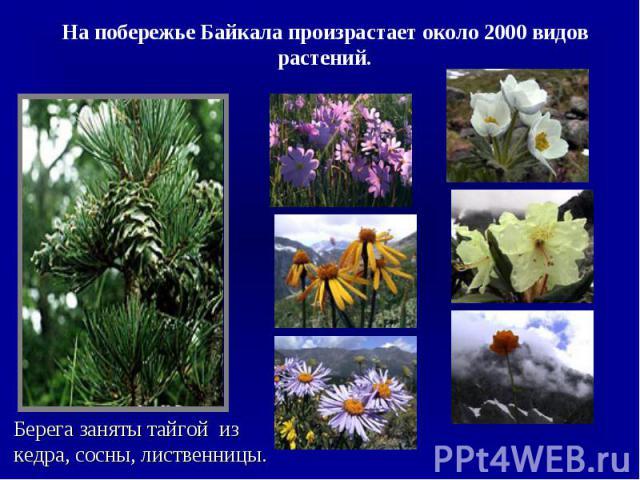 На побережье Байкала произрастает около 2000 видов растений.