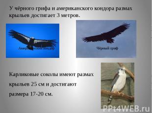 У чёрного грифа и американского кондора размах крыльев достигает 3 метров.Карлик