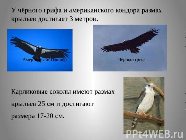 У чёрного грифа и американского кондора размах крыльев достигает 3 метров.Карликовые соколы имеют размах крыльев 25 см и достигают размера 17-20 см.