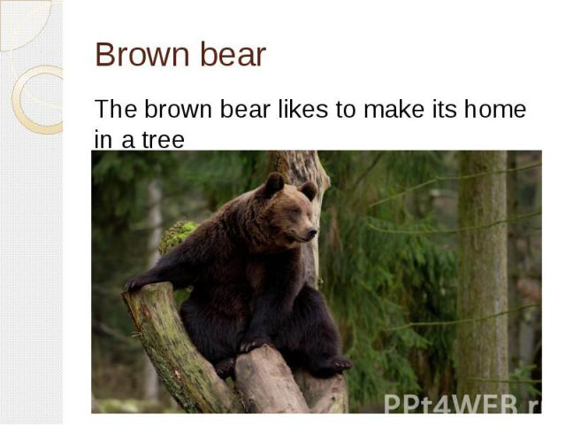 Brown bearThe brown bear likes to make its home in a tree