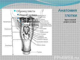 Анатомия глотки