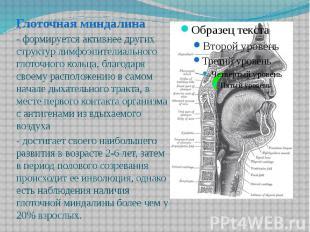 Глоточная миндалина Глоточная миндалина - формируется активнее других структур л