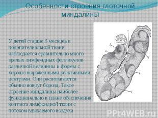Особенности строения глоточной миндалины У детей старше 6 месяцев в подэпителиал