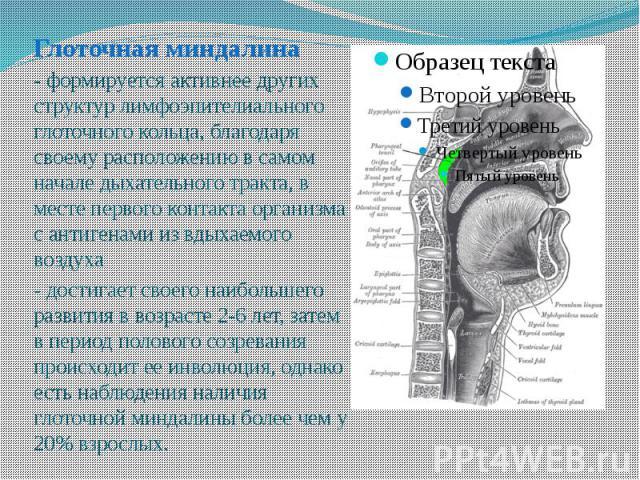 Глоточная миндалина Глоточная миндалина - формируется активнее других структур лимфоэпителиального глоточного кольца, благодаря своему расположению в самом начале дыхательного тракта, в месте первого контакта организма с антигенами из вдыхаемого воз…