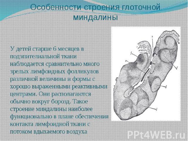 Особенности строения глоточной миндалины У детей старше 6 месяцев в подэпителиальной ткани наблюдается сравнительно много зрелых лимфоидных фолликулов различной величины и формы с хорошо выраженными реактивными центрами. Они располагаются обычно вок…