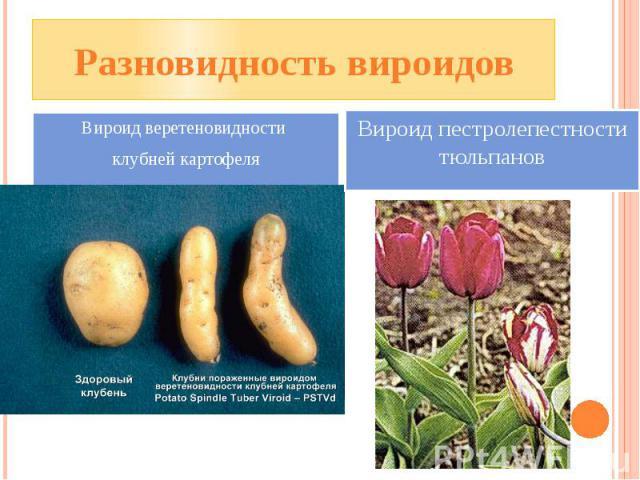 Разновидность вироидов Вироид веретеновидности клубней картофеля