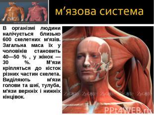 В організмі людини налічується близько 600 скелетних м'язів. Загальна маса їх у