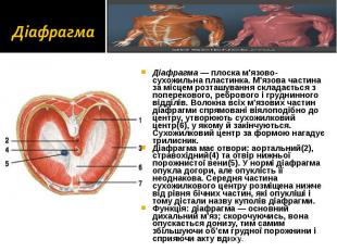 Діафрагма — плоска м'язово-сухожильна пластинка. М'язова частина за місцем розта