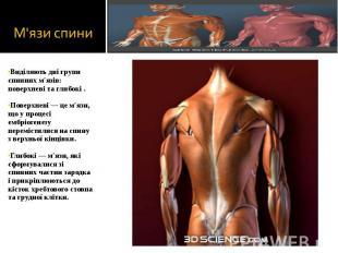 Виділяють дві групи спинних м'язів: поверхневі та глибокі . Виділяють дві групи