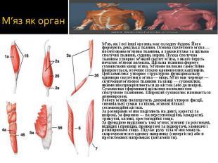 М'яз, як і всі інші органи, має складну будову. Його формують декілька тканин. О