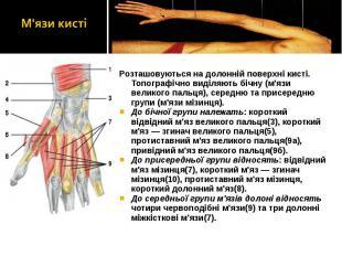 Розташовуються на долонній поверхні кисті. Топографічно виділяють бічну (м'язи в