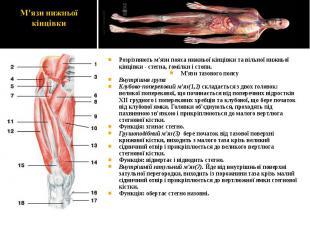 Розрізняють м'язи пояса нижньої кінцівки та вільної нижньої кінцівки - стегна, г