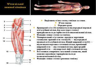 Виділяють м'язи стегна, гомілки та стопи. Виділяють м'язи стегна, гомілки та сто