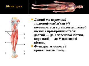 Довгий та короткий малогомілкові м'язи (4) починаються від малогомілкової кістки
