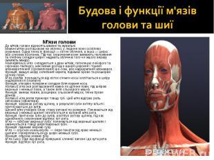 М'язи голови М'язи голови До м'язів голови відносять мімічні та жувальні. Мімічн