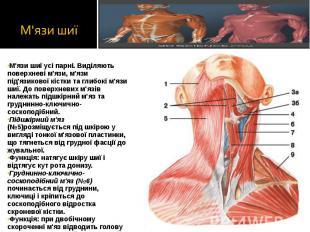 М'язи шиї усі парні. Виділяють поверхневі м'язи, м'язи під'язикової кістки та гл