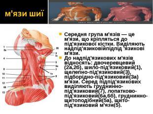 Середня група м'язів — це м'язи, що кріпляться до під'язикової кістки. Виділяють