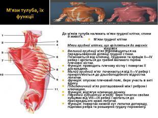 До м'язів тулуба належать м'язи грудної клітки, спини й живота. До м'язів тулуба
